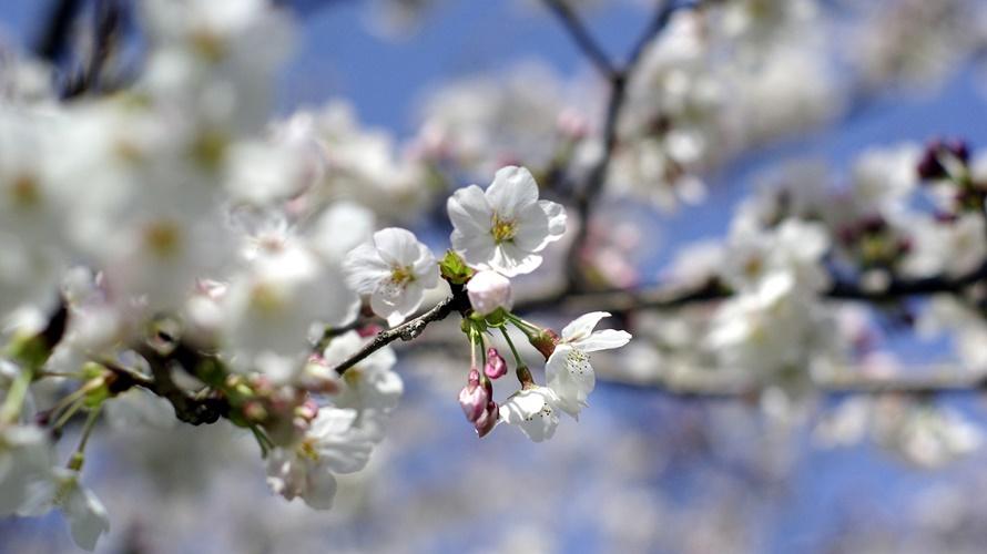 桜ももうすぐ満開♪