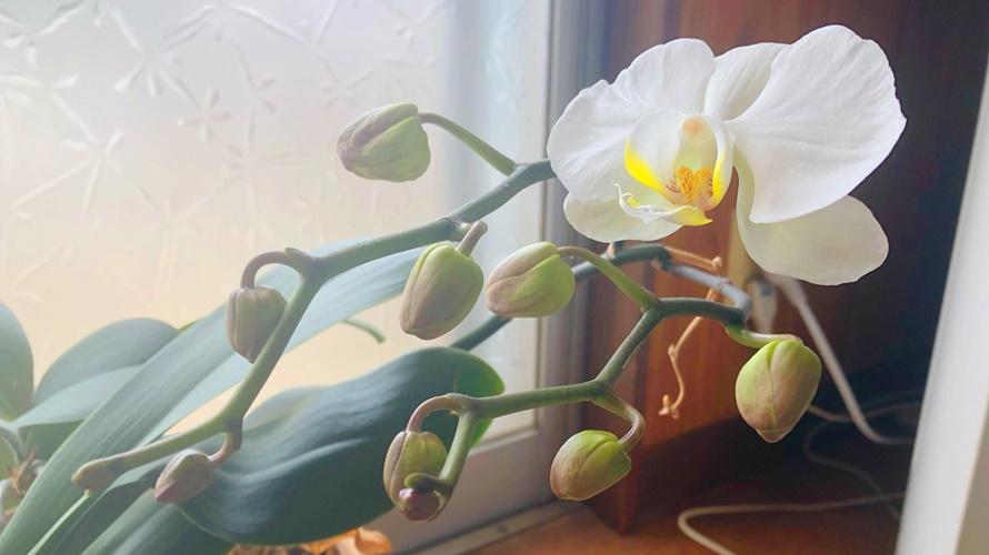 胡蝶蘭が咲きました♪
